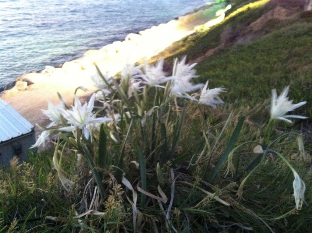 חבצלות החוף